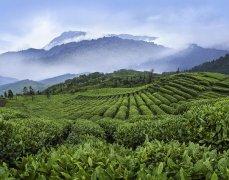 中国高端绿茶竹叶青获选中国糖酒