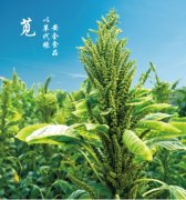 苣苋草---带你回归绿色生命之源