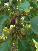 天下奇莓——丹东天下软枣猕